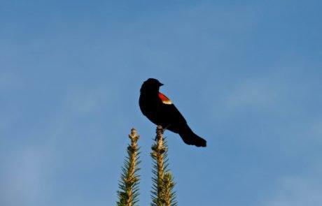 Male Red Winged Blackbird